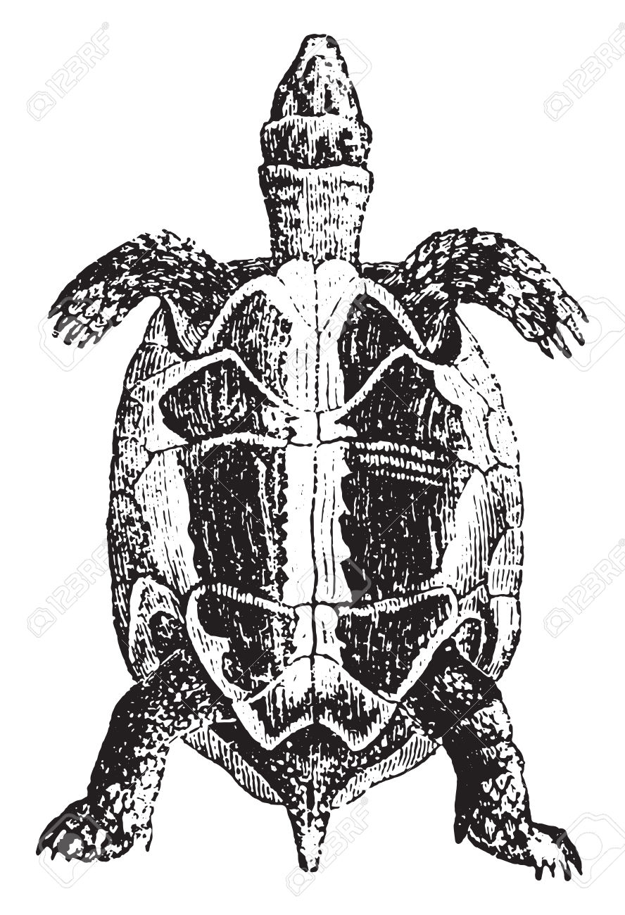 Greek Tortoise Or Spur.
