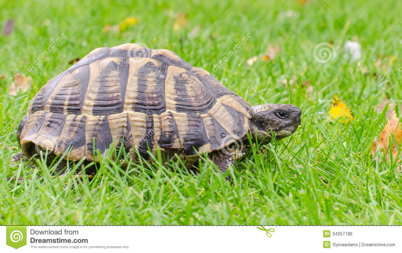 Greek Tortoise Royalty Free Stock Image.