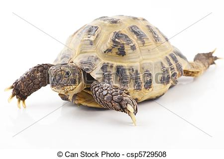 Greek tortoise Stock Photo Images. 139 Greek tortoise royalty free.