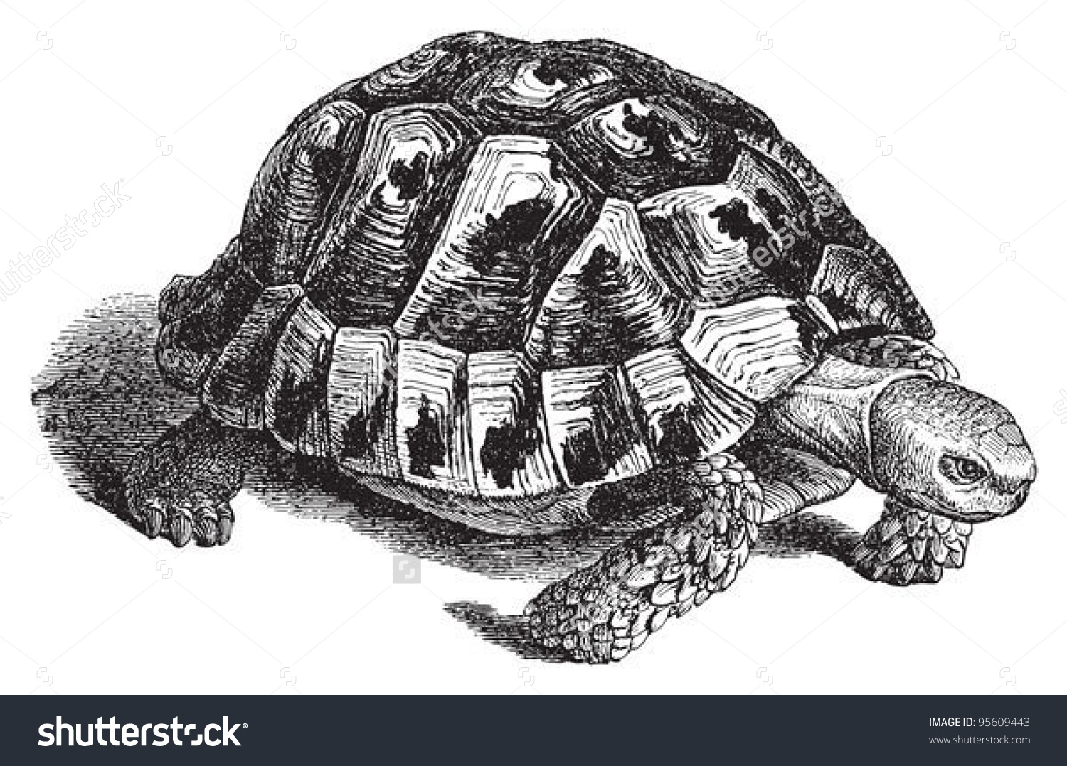 Spurthighed Tortoise Greek Tortoise Testudo Graeca Stock Vector.
