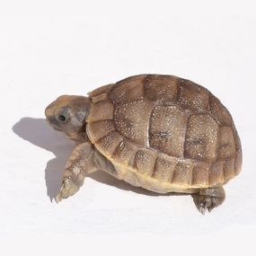 1000+ ideas about Baby Tortoise For Sale on Pinterest.