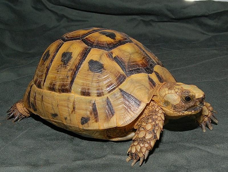Greek turtles clipart #14