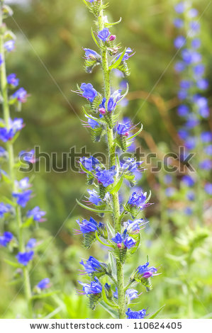Greek valerian Stock Photos, Images, & Pictures.