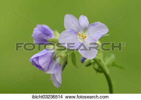 "Stock Photo of ""Jacob's Ladder or Greek Valerian (Polemonium."