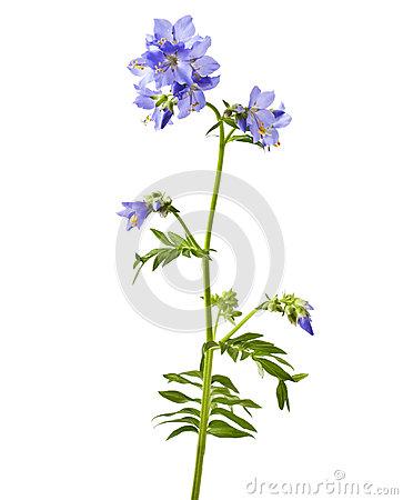 Polemonium Caeruleum. Greek Valerian.