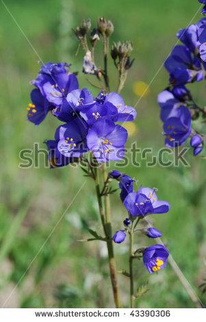 Jacob'S Ladder Or Greek Valerian (Polemonium Caeruleum). Medicinal.