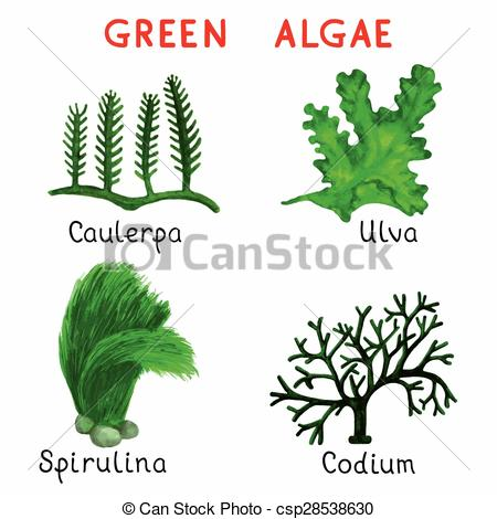 Vectors of Green algae.