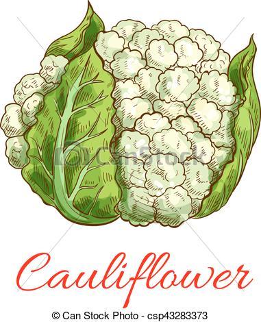 Vectors Illustration of Green cauliflower vector isolated.