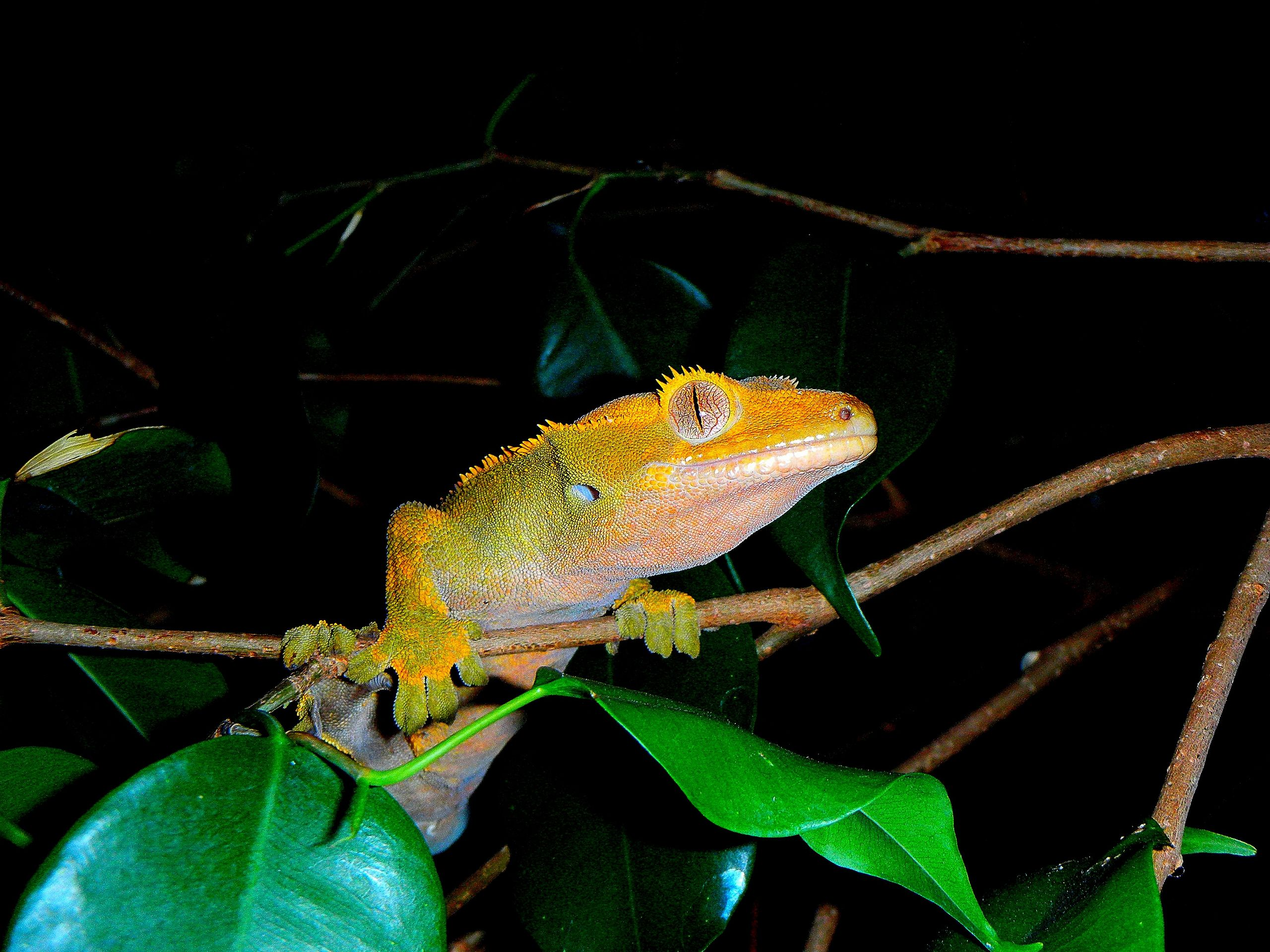 Crested Gecko Clipart.
