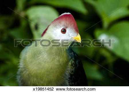 Stock Photo of Red Crested Turaco x19851452.