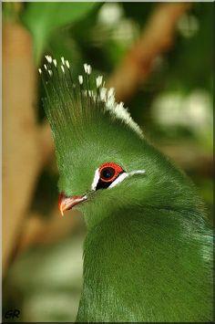 Knysna turaco (Tauraco corythaix).