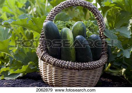 Stock Photograph of Cucumbers In Basket, Organic Garden, Manitoba.