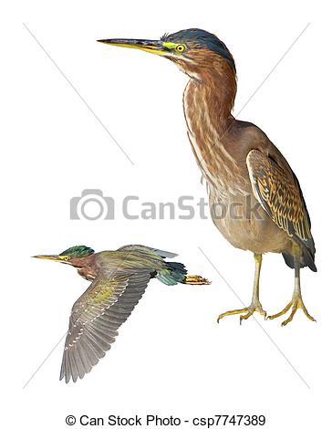 Stock Photographs of florida birds.
