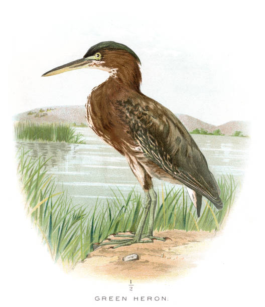 Green Heron Clip Art, Vector Images & Illustrations.