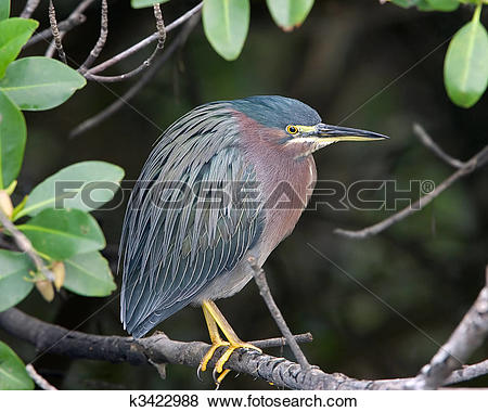 Pictures of Green Heron k3422988.
