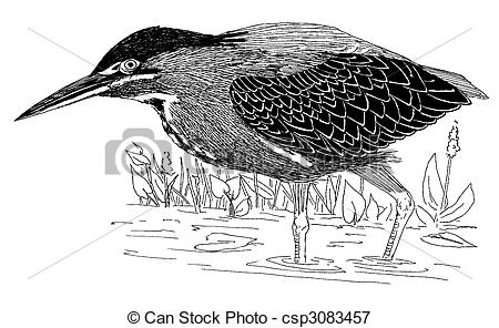 Stock Illustrations of Green Heron.