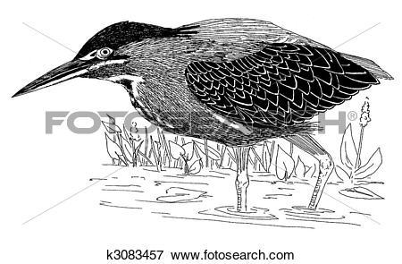 Stock Illustration of Green Heron k3083457.