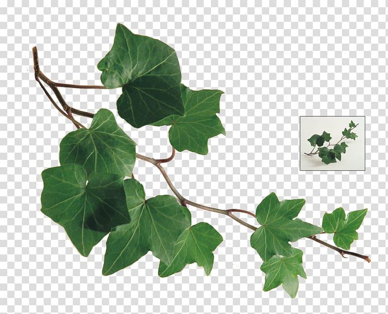 Green ivy plant art, Common ivy Leaf Plant Vine, ivy.