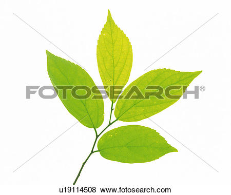Pictures of Four Little Light Green Leaves on a White Surface.