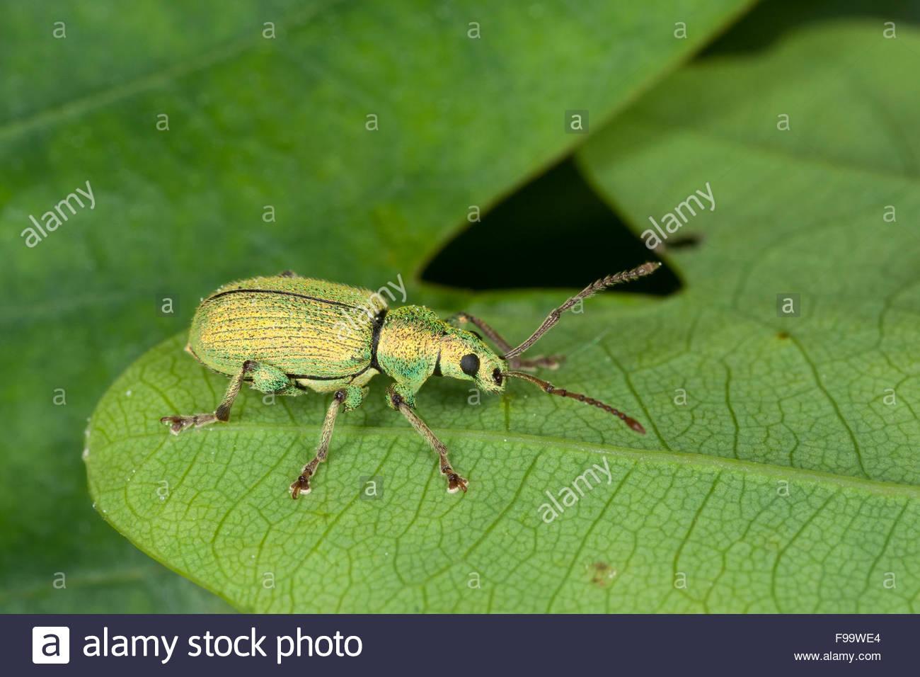 Phyllobius Weevil, Silver Green Leaf Weevil, Silberner Grünrüssler.