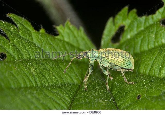 Leaf Weevil Stock Photos & Leaf Weevil Stock Images.