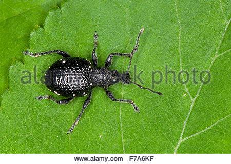 Curculionidae Stock Photos & Curculionidae Stock Images.