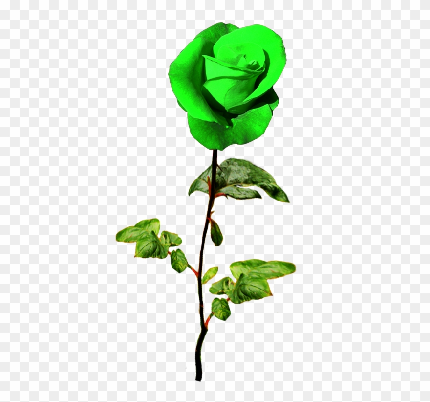 Patrick\'s Day Green Rose.