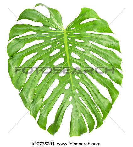 Stock Photo of The big green sheet Monstera k20735294.