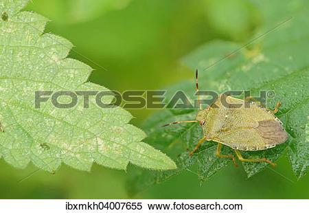 Stock Image of Grune Stinkwanze (Palomena prasina), Hessen.
