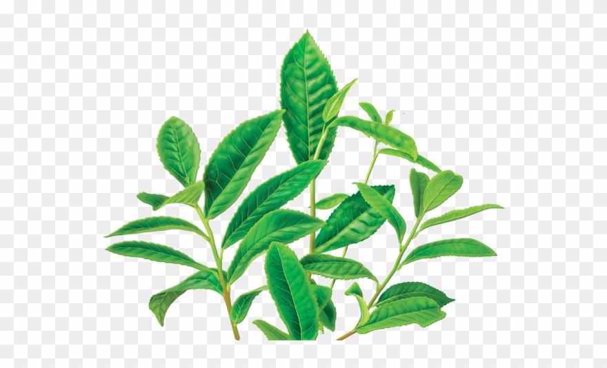 Clipart Leaves Green Tea Leaf.