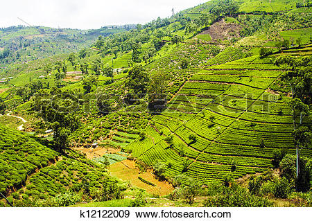 Stock Photograph of green tea plantation in Sri Lanka k12122009.