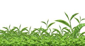 Boseong Green Tea Plantation Stock Illustrations.