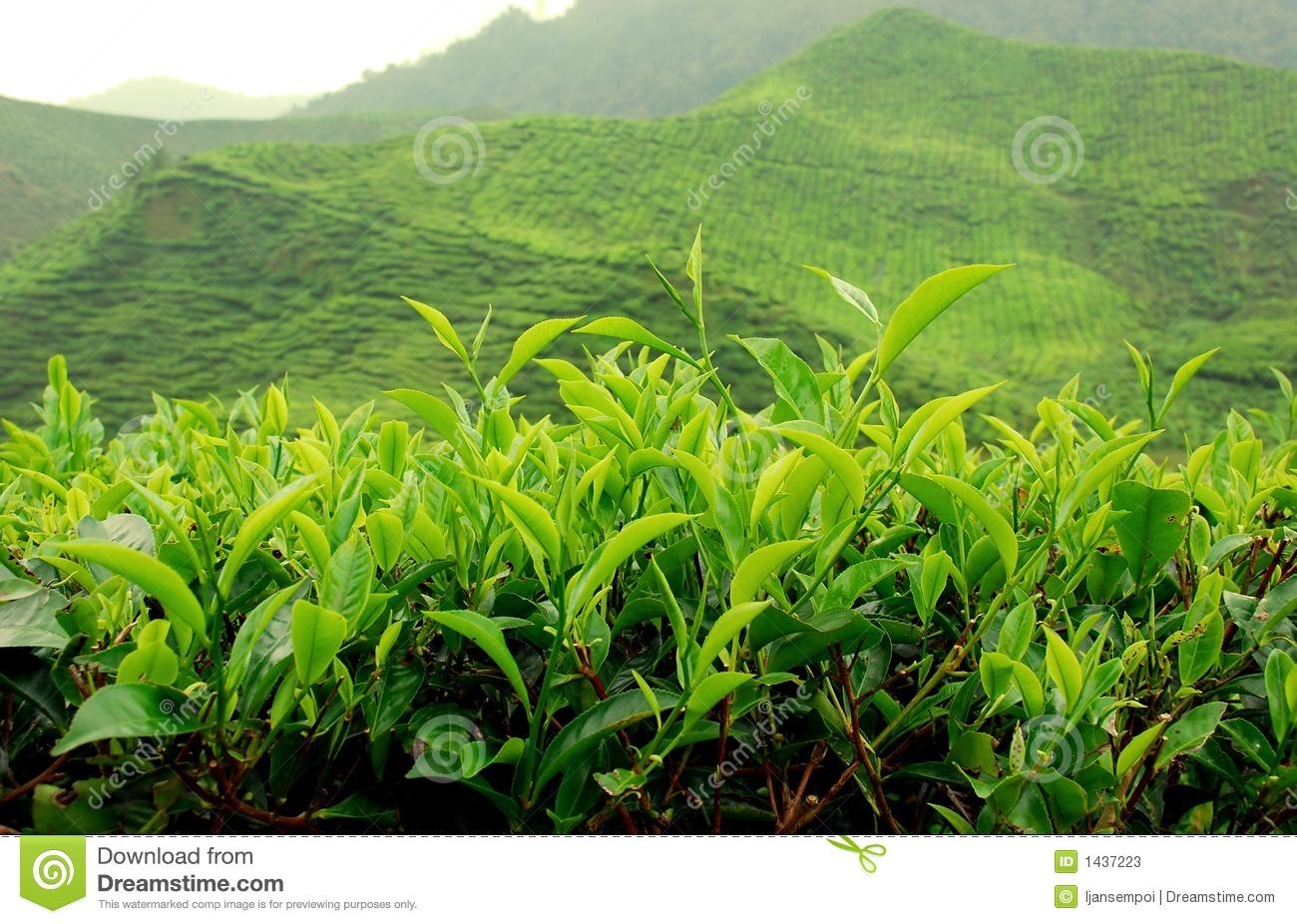 Tea Plantation Stock Photos, Images, & Pictures.