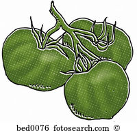Green tomatoes Illustrations and Clipart. 448 green tomatoes.