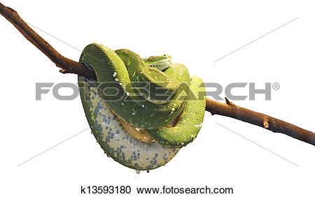 Stock Photography of Green tree python k13593180.
