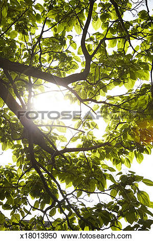 Stock Photography of sun behind canopy of trees x18013950.