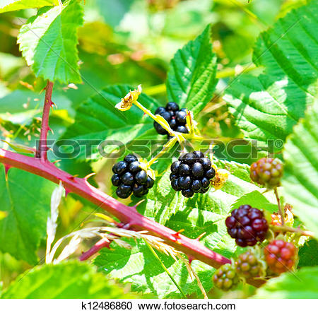 Stock Photography of Blackberry bush with ripe and unripe berries.