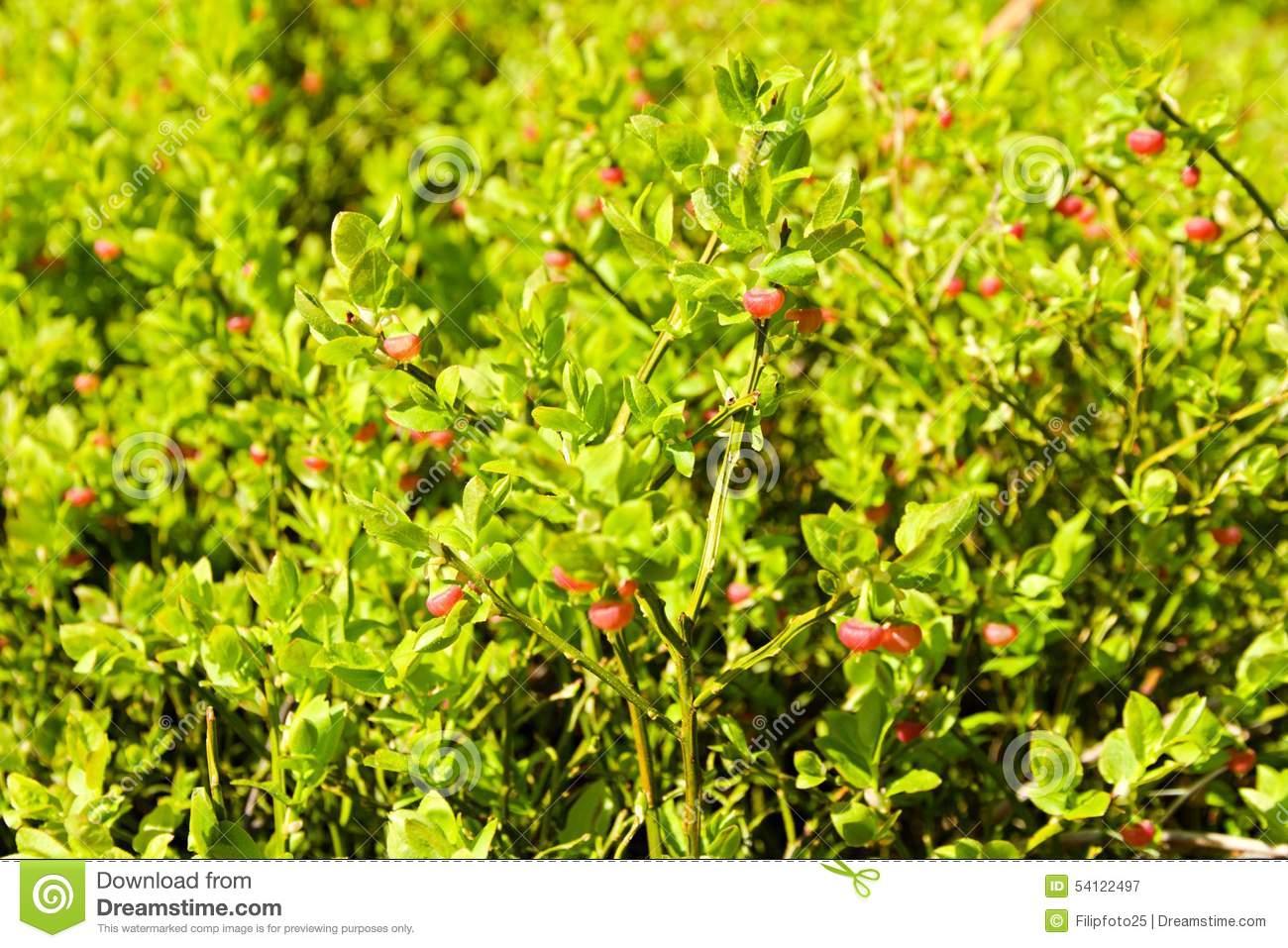 Unripe Blueberries Stock Photo.