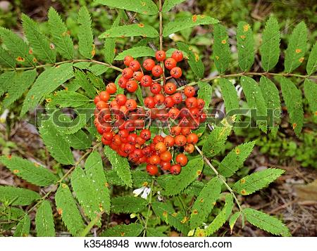 Pictures of The unripe berries of orange color, leaves of a.