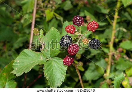 Blackberry Bush Ripe Unripe Berries Fly Stock Photo 82425046.