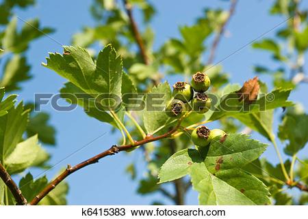 Stock Photo of Unripe Hawthorn (Crataegus) berries k6415383.
