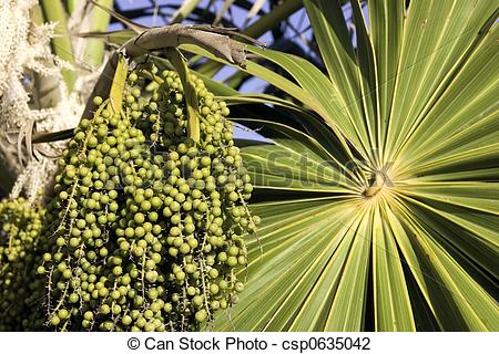 Stock Photo of Unripe acai berries.
