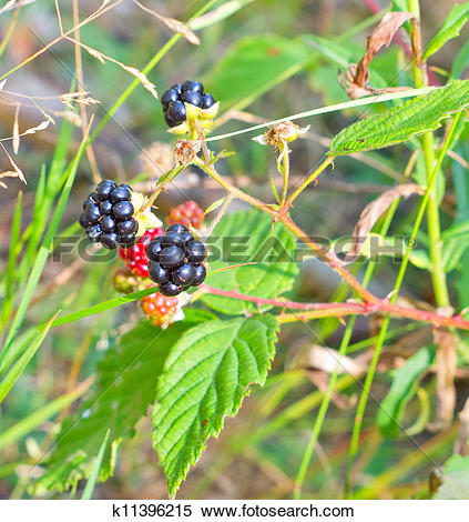 Stock Image of Blackberry bush with ripe and unripe berries in the.