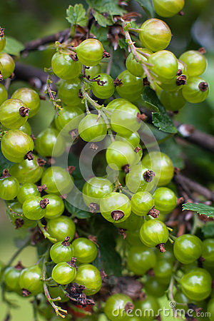 Unripe Black Pepper, Plant With Green Berries Stock Photo.