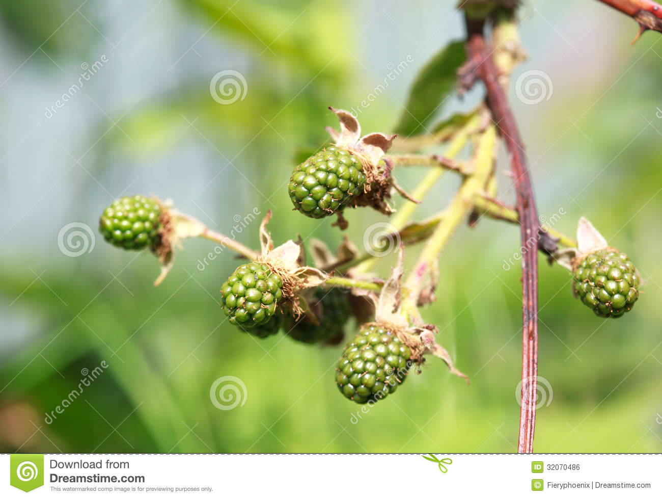 Green Unripe Blackberries. One Is In Focus, The Other Are Slight.