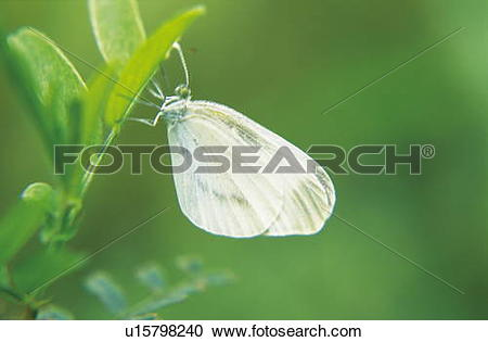 Stock Photography of Cabbage white butterfly u15798240.