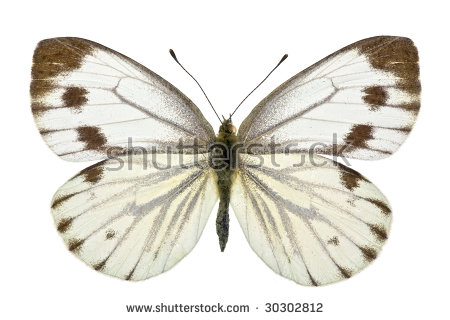 Large White Butterfly Called Cabbage Butterfly Stock Photo.