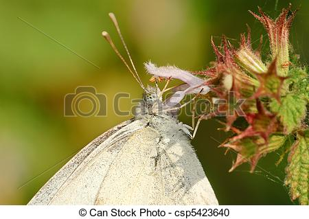Stock Photography of White butterfly Pieris napi csp5423640.