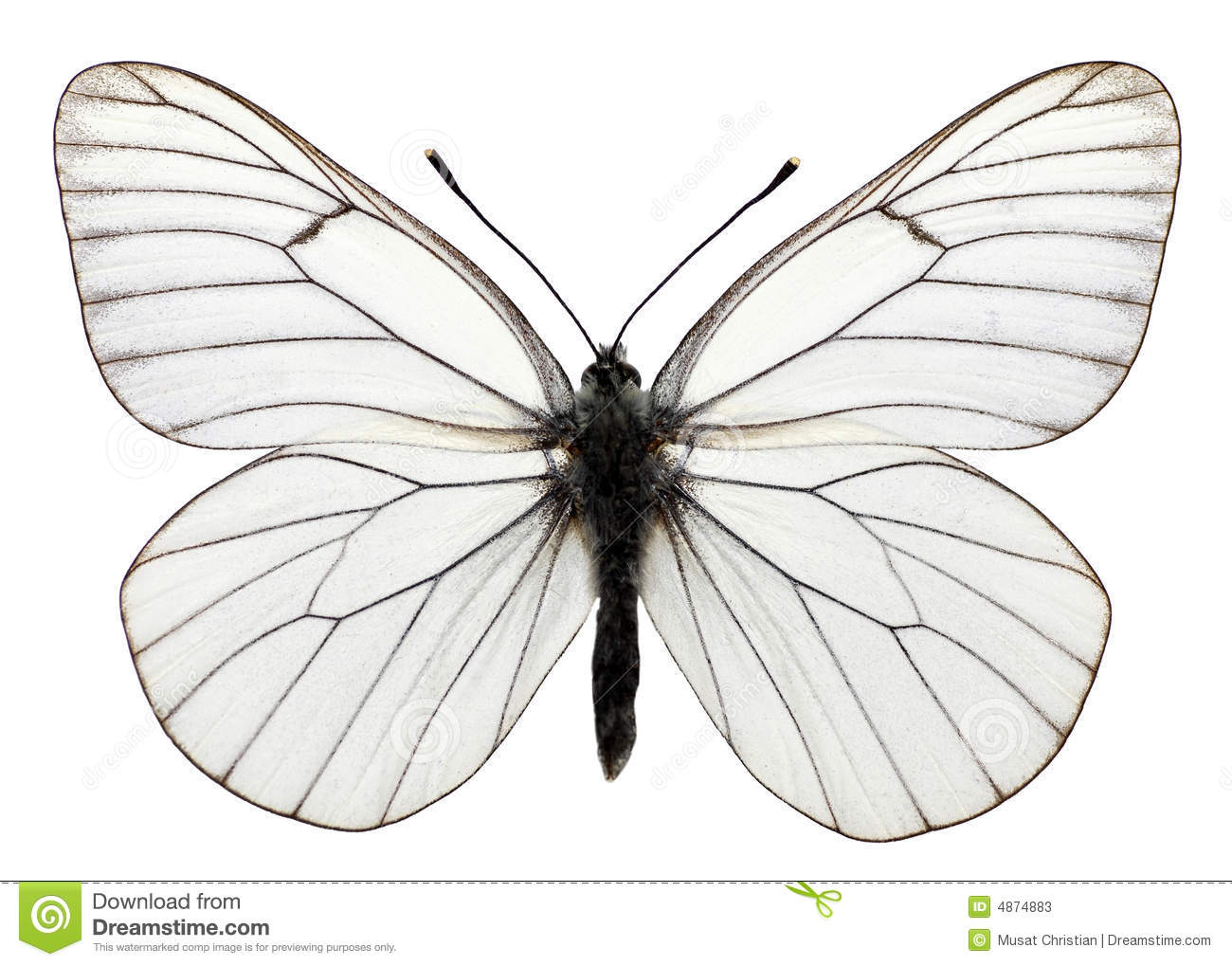 Isolated Black Veined Butterfly Stock Photos.