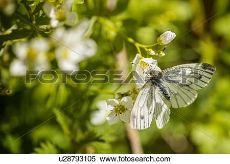 Stock Image of Green Veined White Butterfly (Pieris Napi) on plant.